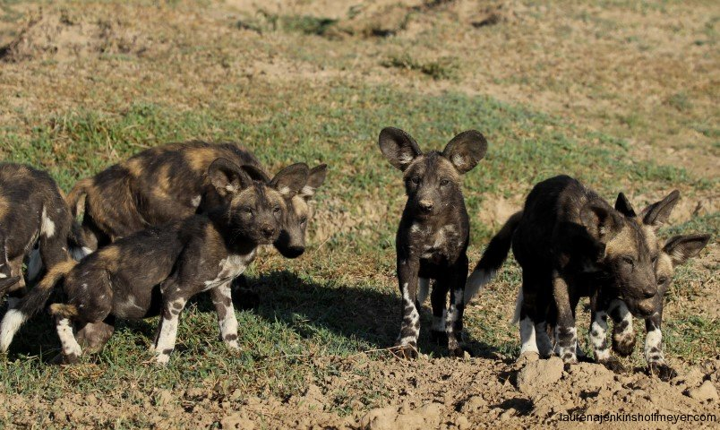 Wild Dogs at Ol Pejeta