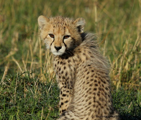 Malaika's Cub in the Mara Triangle