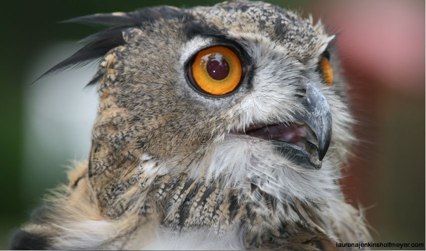 Eurasian Owl - Potter Park Zoo
